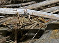 Mediterranean Mantis (Iris oratoria) female (10250706734).jpg