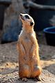 Meerkat at the Brevard Zoo.jpg
