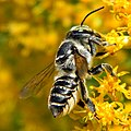 Megachile sp. (Leafcutter bee) (8176838130).jpg
