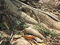 Melaka BH - St Paul steps - giant lizard.jpg