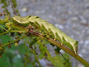 Bruco di Melanchra persicariae nella tipica colorazione verde
