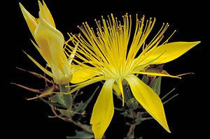 Mentzelia multiflora - Adonis blazingstar