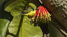 Metallic-winged Sunbird.jpg