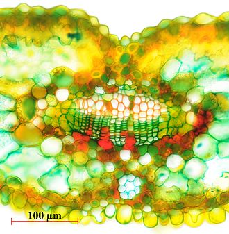 Vascular bundle - Vascular bundle in the leaf of Metasequoia glyptostroboides