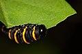 Methona themisto caterpillar.JPG