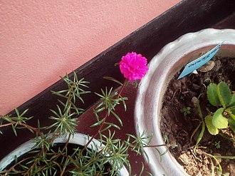 Portulaca grandiflora - Image: Mexican Rose