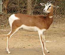 List Of Mammals Of Tunisia Wikipedia