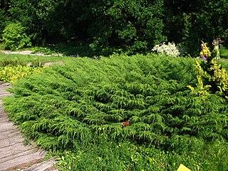 <i>Microbiota decussata</i> Species of plant