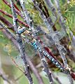 Migrant Hawker. Aeshna mixta - Flickr - gailhampshire.jpg