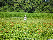 Migrant farm worker, New York