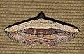 Milky Banded Moth (Oruza latifera) (16732729309).jpg