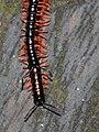 Millipedes - pre-copula (detail) (5389753140).jpg