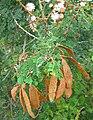 Mimosa bahamensis.jpg