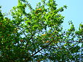 Mirabelle plums on tree.JPG