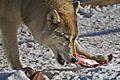 Mission Wolf Abraham Bone.jpg