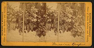 Mission (grape) - Photo of Mission grapes growing around Santa Barbara, California, circa 1875.
