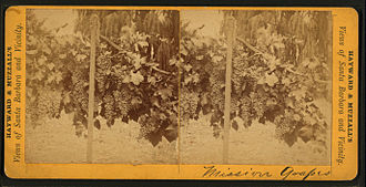 Torrontés - DNA evidence suggest that the Mission grape (seen here in a late 19th-century photo growing in California) is one of the parents of Torrontés.