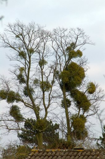 As a hemi-parasitic plant, the mistletoe in this tree exploits its host for nutrients and as a place to grow. Mistletoe infested tree.jpg
