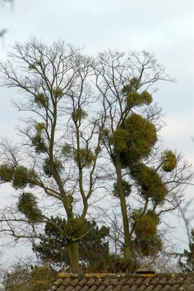 Mistletoe infested tree