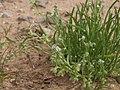 Mixed combseed, Pectocarya heterocarpa (15766502483).jpg