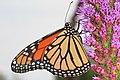 Monarch - Danaus plexippus, Jones Preserve, Rappahannock County, Virginia (36037628921).jpg