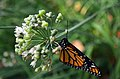 Monarch drying it wings after hatching (15215833580).jpg