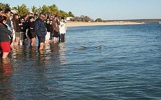 Monkey Mia - Monkey Mia dolphin feeding