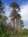 Monkey Puzzle tree - geograph.org.uk - 873267.jpg
