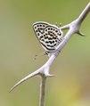 Moors Christusdoornblauwtje - Common Tiger Blue - Tarucus theophrastus.tif