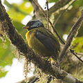Moss-backed Tanager (15742706581).jpg