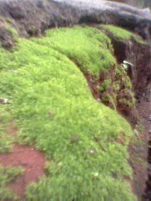 English: Mosses in wall side.