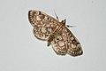 Moth 3 (5907918424).jpg