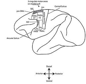 Supplementary eye field - Figure 1. Motor Cortex of the Monkey Brain: Pictured above are the approximate locations of the SEF and FEF in the monkey brain which we know today.