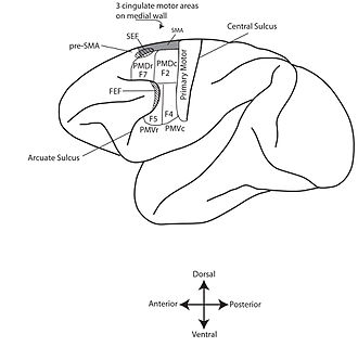 Motor cortex - Some commonly accepted divisions of the cortical motor system of the monkey