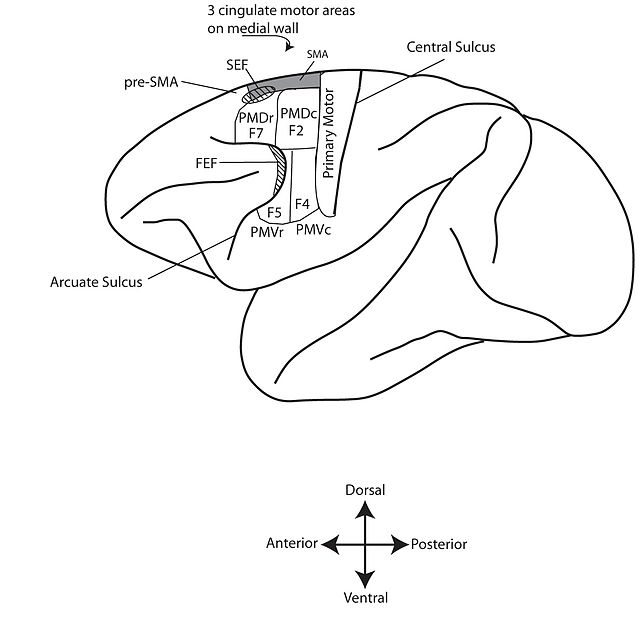 Supplementary eye field wikiwand figure 1 motor cortex of the monkey brain pictured above are the approximate locations ccuart Choice Image