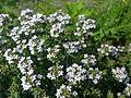 Mouche sur du thym en fleurs à Grez-Doiceau 001.jpg