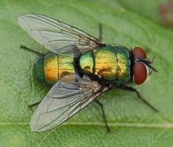 Une mouche verte, Lucilia caesar