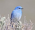 Mountain Bluebird 5841vv.jpg