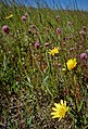 Mountain dandelion, Owl's clover, and Plantago. Purple needlegrass (Stipa pulchra), our State Grass (a perennial bunchgrass) in the background. (38270511301).jpg
