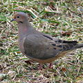 Mourning Dove-27527-2.jpg
