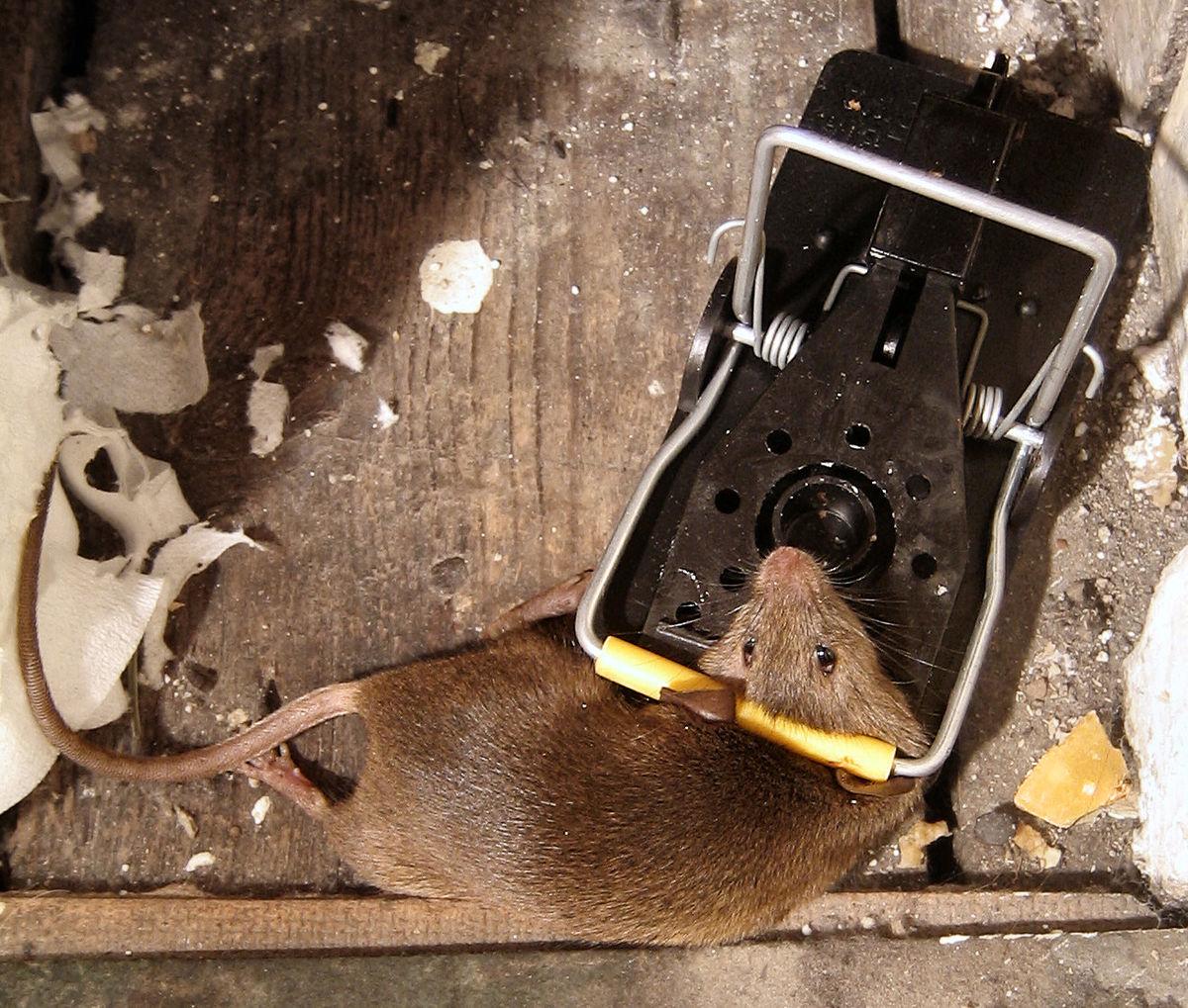 Attraper Les Souris piège à souris — wikipédia