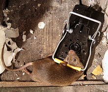 Mouse in mousetrap.jpg