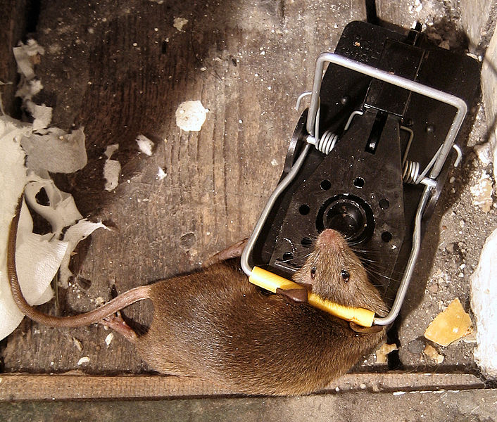 Fichier:Mouse in mousetrap.jpg