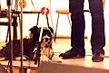 Mrs Ackroyd (dog) with Les Barker, UK folk poet on stage, Towersey, 1980.jpg