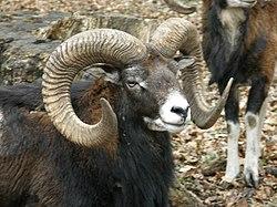 meaning of mouflon