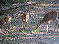 Murphys Point-deer.jpg