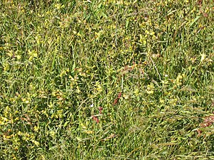 Dunes of Texel National Park - Vegetation in De Nederlanden end of May