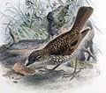 Myadestes lanaiensis lanaiensis Keulemans.jpg