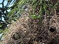 Myiopsitta monachus -Santiago, Chile -nest-8 (2).jpg