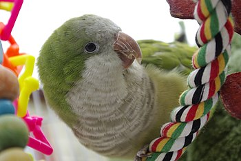A pet Monk Parakeet (also known as the Quaker ...